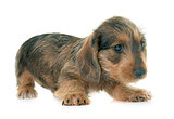 puppy Wire haired dachshund