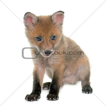 fox cub in studio