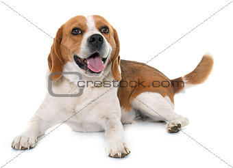 beagle in studio