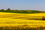 Fields off yellow