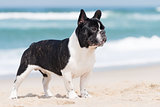 French bulldog on the beach