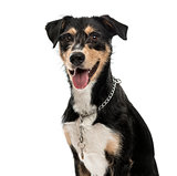 Cross-breed dog isolated on white