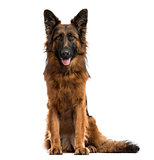 German shepherd isolated on white