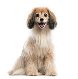 Spaniel isolated on white