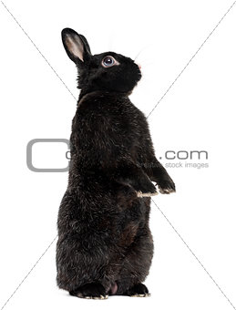 Black Rabbit isolated on white