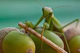 European Mantis, Mantis religiosa
