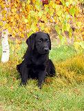the little nice black labrador puppy in autumn