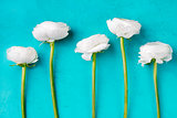 White ranunculus flowers Blue background Top view