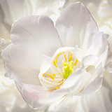 Purity of White Tulip