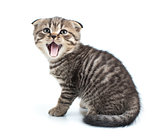 tabby kitten cat with mouth open isolated