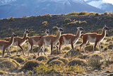 Guanaco in Torres del Paine National Park