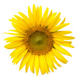 Yellow sunflower isolated on write background