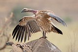 Scavenging white-backed vulture