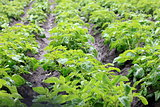 Potato field with green shoots of potatoes