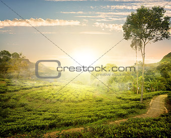 Fog and tea field