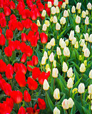 field of tulips. Flowers tulips.Red and white tulips.Background