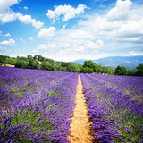 Lavender field at summer