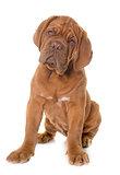 puppy Dogue de Bordeaux