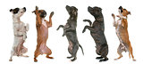 staffordshire bull terriers standing up