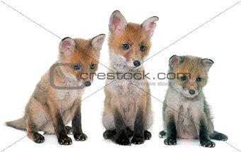 three fox cub in studio