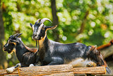 Goats on the Stack of Wood