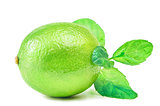 Native Lime