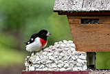 Rose-Breasted Grosbeak on Feeder