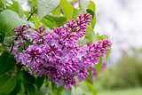 lilac flower. with bokeh background.