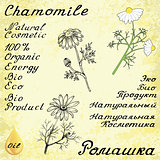 Chamomile . Vector set of 3 drawing and hand-lettering