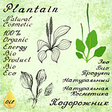 Plantain. Vector set of 3 drawing and hand-lettering