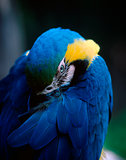 Sleepy Macaw