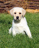 wow nice cute yellow labrador puppy in autumn