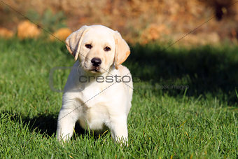 a nice yellow labrador puppy in summer
