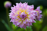 Pink and yellow Dahlia flower in full bloom closeup