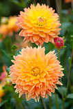 Dahlia yellow and orange flowers in garden full bloom