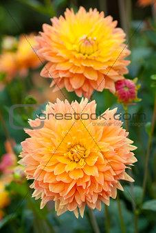 Dahlia yellow and orange flowers in garden full bloom
