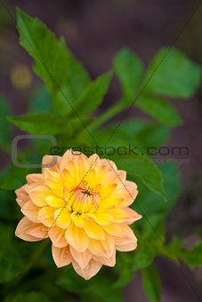 Dahlia orange and yellow flower in garden full bloom closeup