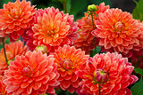 Dahlia red or orange flowers in garden full bloom