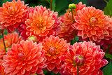 Dahlia red or orange flowers in garden full bloom