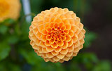 Orange or yellow Dahlia flower in full bloom closeup