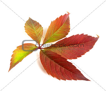 Autumn multicolor grapes leaf (Parthenocissus quinquefolia folia