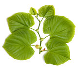 Spring tilia leafs