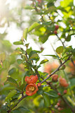 Japan quince is blooming