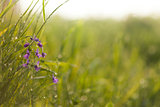 Sunrise in the grass & violet flower