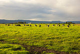 Cattle grazing in the open meadows in Australia