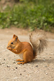 ittle red squirrel eating sunflower seeds