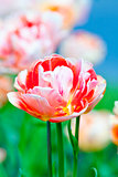 Closeup of Tulip Flower at Blossom