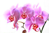 flowers of pink orchid isolated