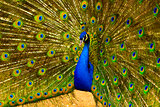 peacock. peafowl.  Beautiful spread of a peacock. beautiful peac