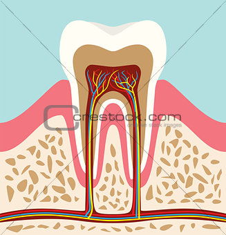 tooth teeth cell structure anatomy with flat style